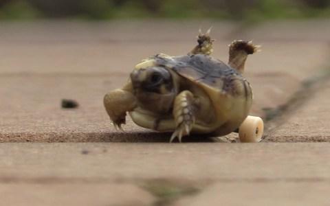 Una de sus tortugas es madre de una cría con las piernas invertidas, y decide ponerle ruedas de skate para que pueda desplazarse