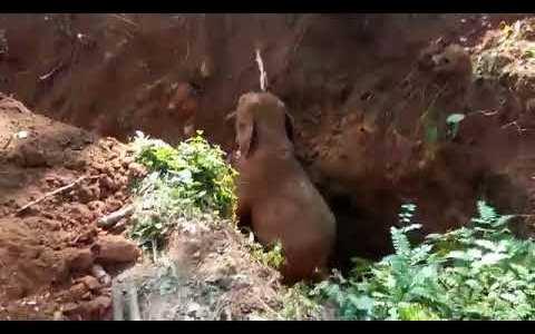 Elefantes salvajes saludan a las personas que sacaron a su cría de un agujero