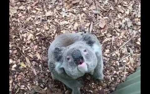 ¿Sabes cómo suena un koala?
