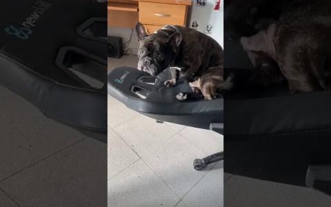 El perro pajiIIero de un finolier y su silla geimer fapvorita