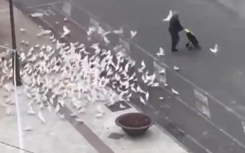 Ya nadie alimenta al as palomas en Benidorm, así que ahora persiguen desesperadas a la gente con carros de la compra