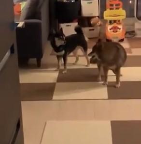 """Dos perros jugando al """"da vueltas hasta que te vea"""""""