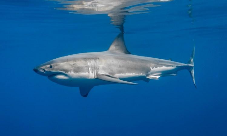 """""""Tío, creo que no es un tiburón peregrino"""" (especie inofensiva)"""