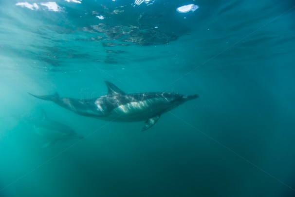 common dolphin under the surface