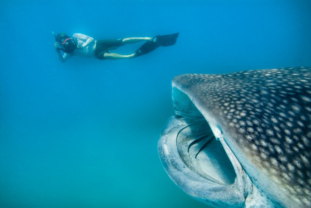 Whale-Sharks-SC-401.jpg