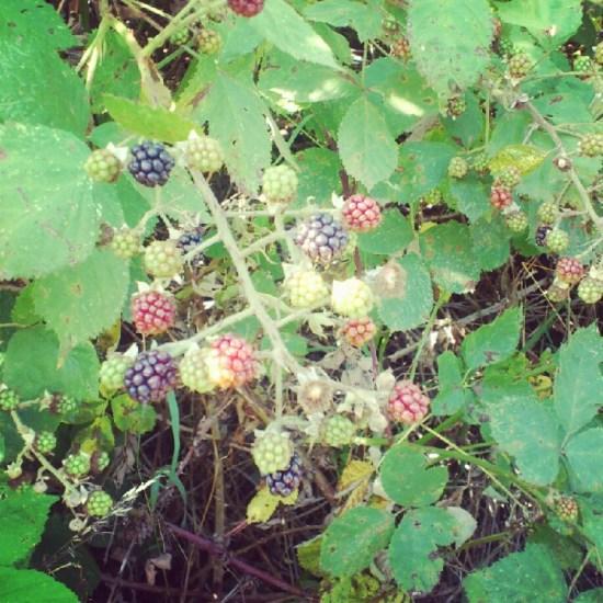 On blackberry picking