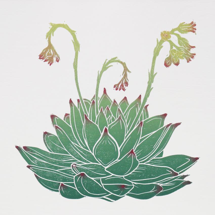 Flowering Echeveria 'Miranda'. Original woodcut print. Relief print. Fiona Parrott Printmaker ©2019