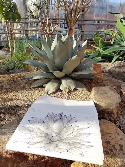 Sketching Mescal Agave, also known as Agave Parryi, at Hortus Botanicus Amsterdam. De Hortus. Fiona Parrott printmaker. Fiona Parrot prints. Woodcut artist.