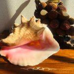 コンク貝の販売