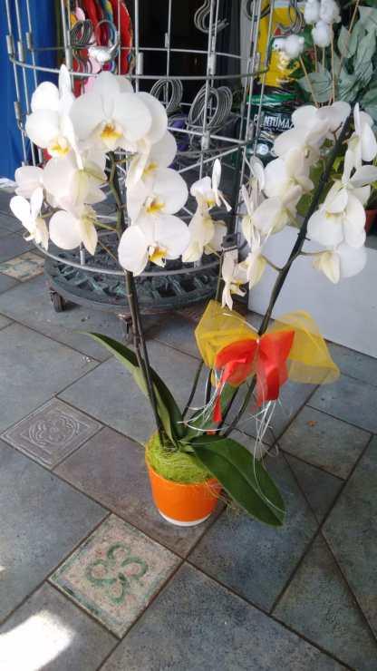 Pianta di Orchidea bianca