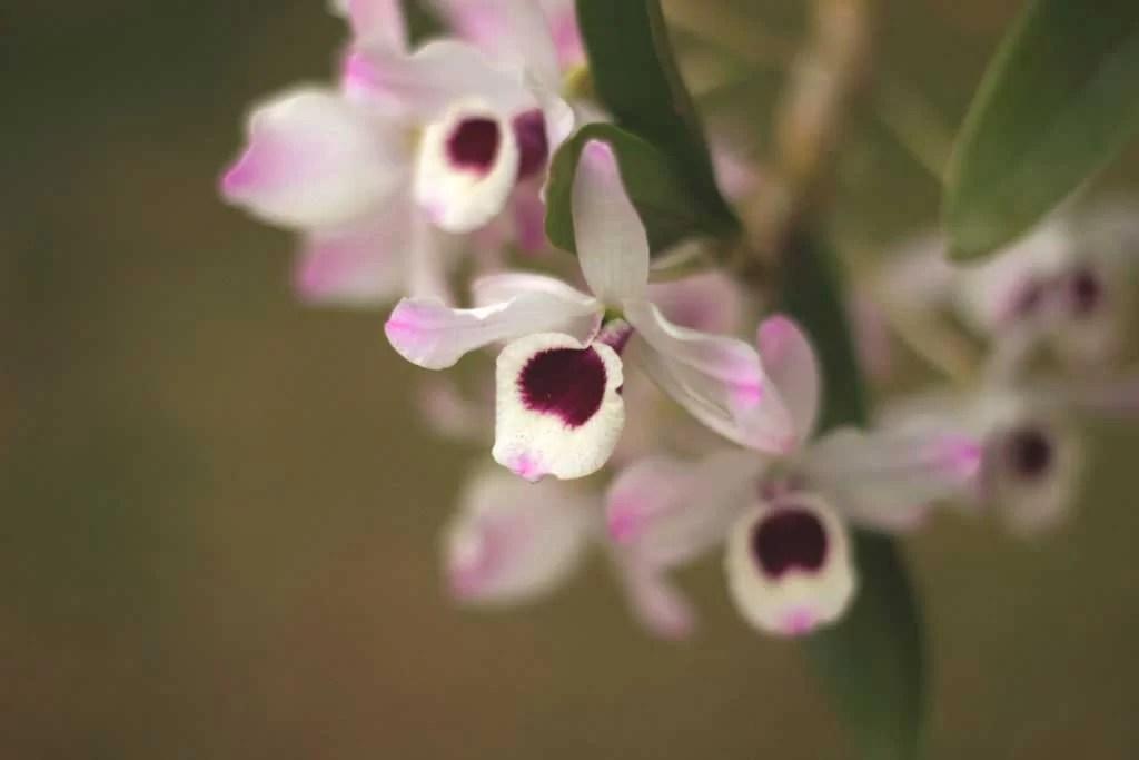 Orquída rosa