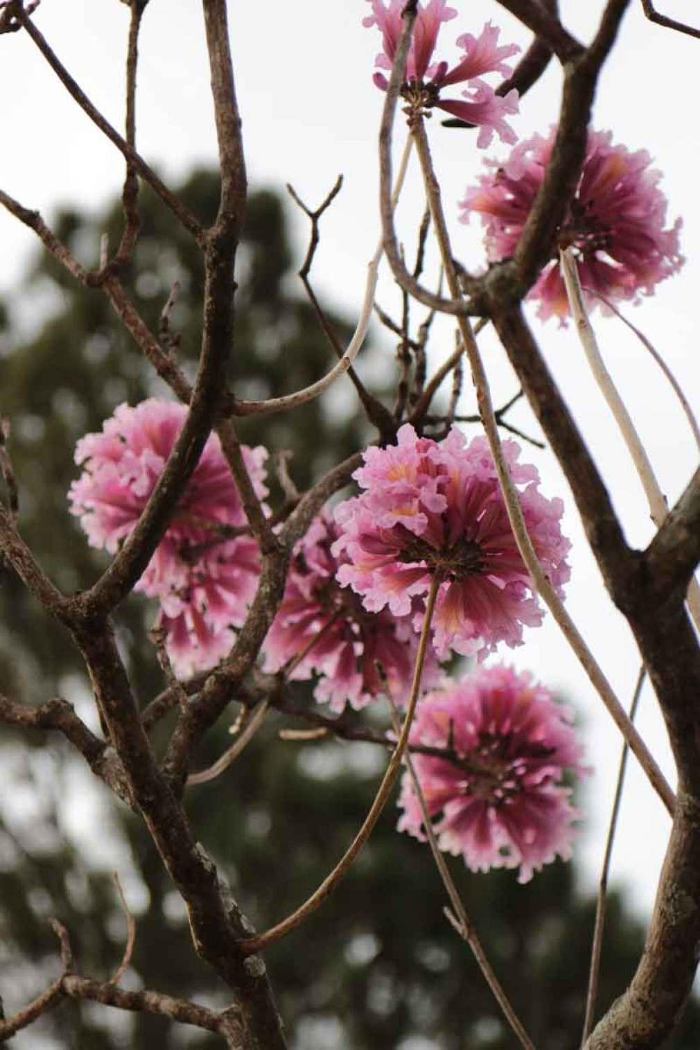 Fotografando o ipê florido