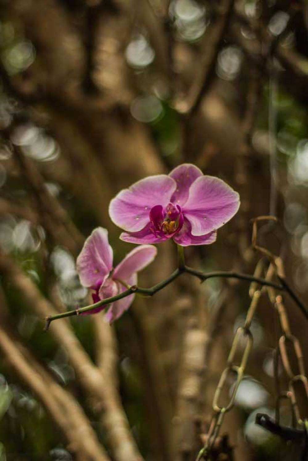 Orchidea do jardim