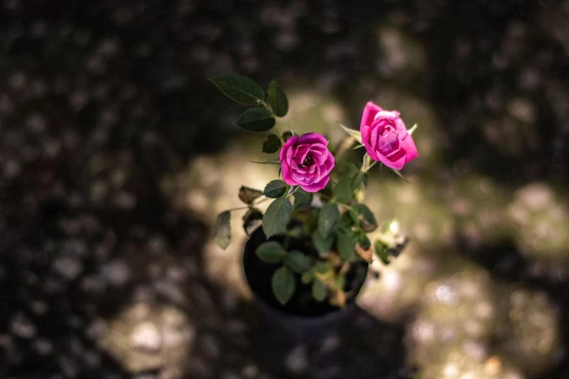 Foco na mini rosa