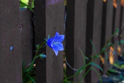 Blume die durch den Zaun gewachsen ist.