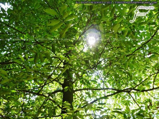 Nutmeg tree leaves with sunlight spread