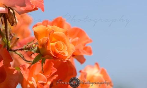 Roses2-hybrid tea rose