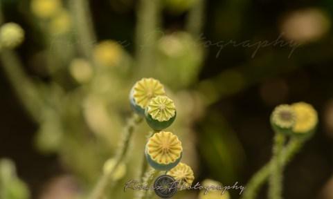 Kashmir Bouquet12-ball-like flower