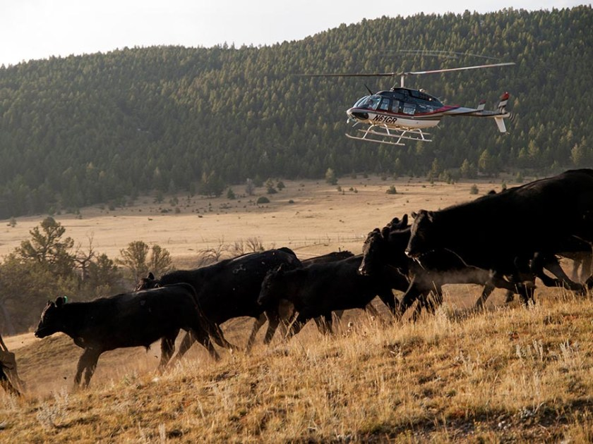 Gathering cattle with a helicopter