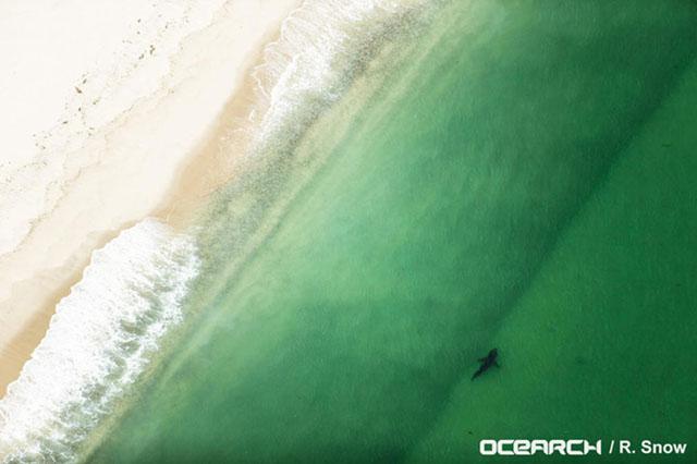 Secret-of-Great-White-Sharks-revealed