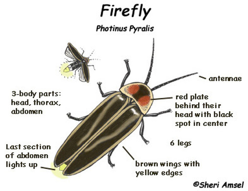 Firefly Anatomy  Entomology 300 Final Project