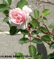 A pink Rose before it turn white.  ©V.ROSE DEMET ™2014