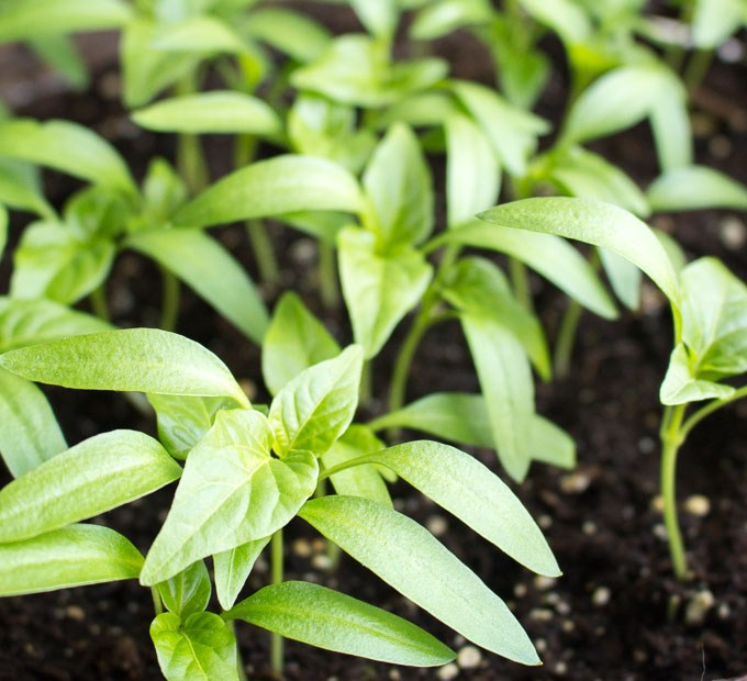 How to grow peppers from seeds
