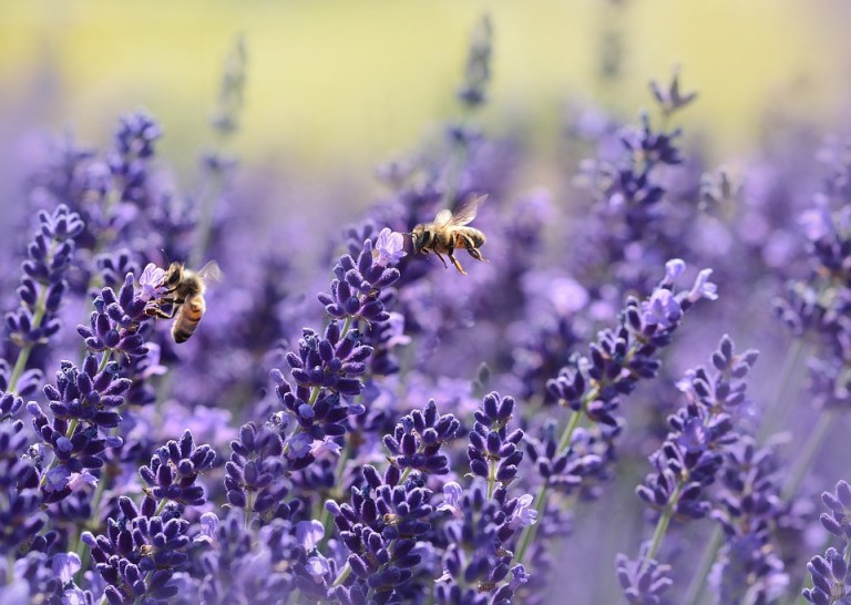 What to plant in an aromatherapy garden.