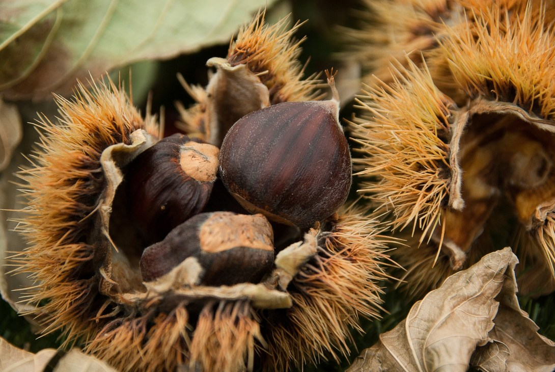 chestnuts-1761228_1920