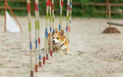 Hundetræning – opdragelse af din hund