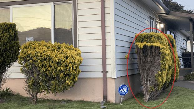 Bushes against a house