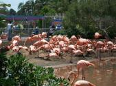 Lots of flamingos