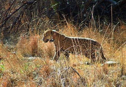 Wild-jaguar-picture-2