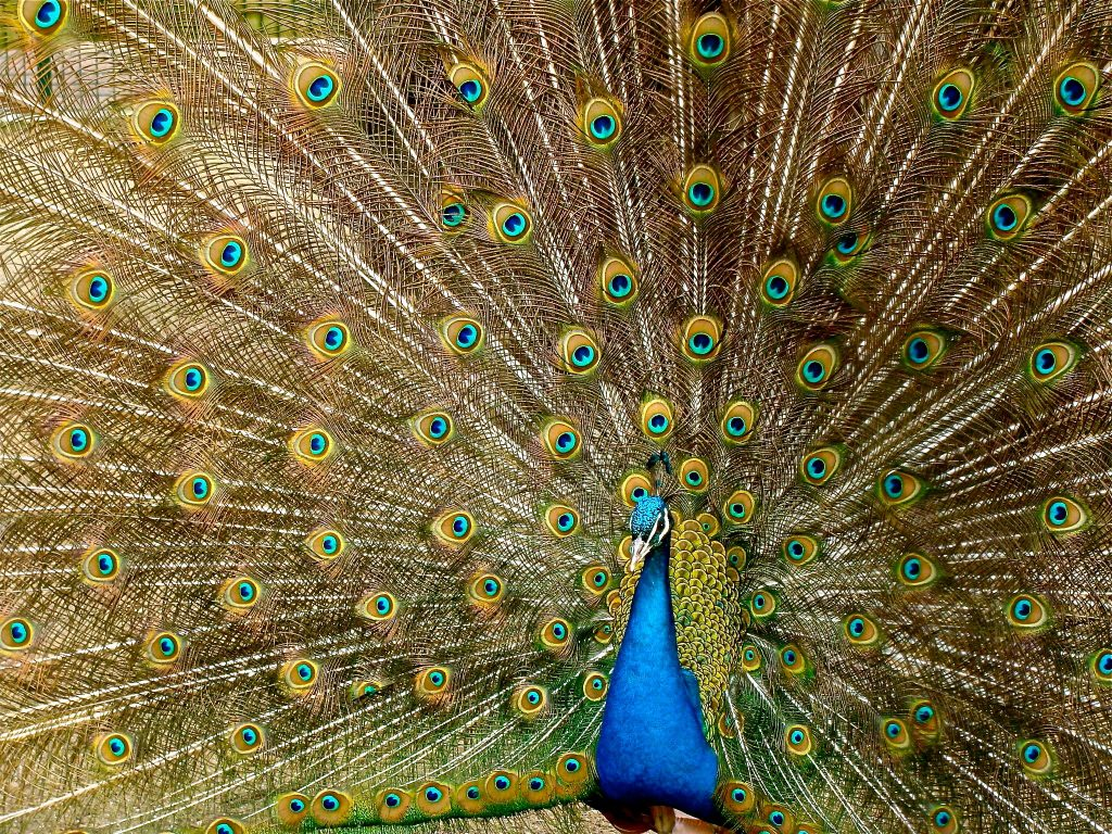 PEXELS peacock-plumage-bird-peafowl-45911.jpeg