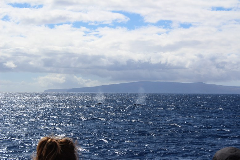 Maui Whale Watching PacWhale Foundation