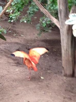 Flamingo preparing for takeoff