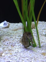 Seahorse resting against lines of sea grass