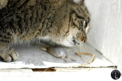cat eating mouse 3