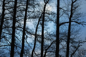 Alder branches and twigs