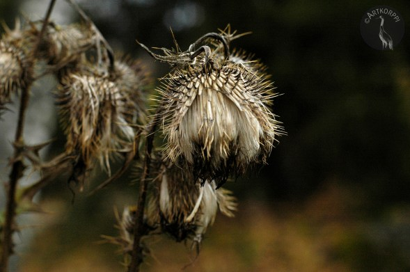 fall_thistle964