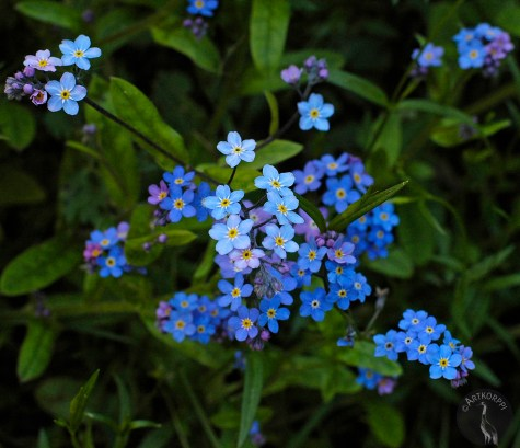 forget_me_not5445