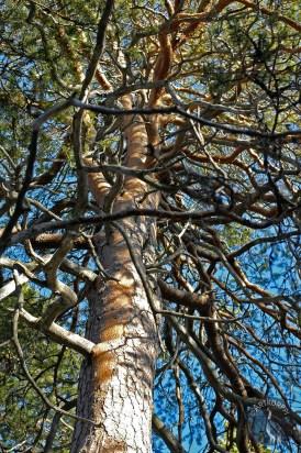 angular_tree1907p