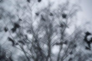 crows_0074muokp