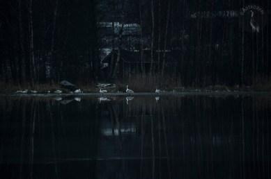 swans_0087muokp
