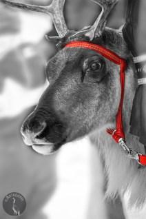 reindeer_0042_mon43p
