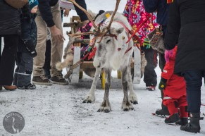 white_reindeer__0002p