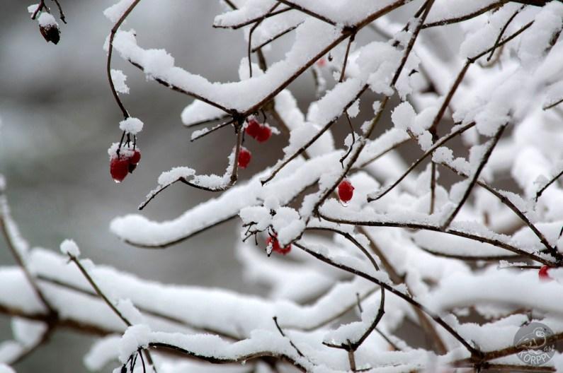 red_berries_0108p