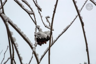 snowy_branches_0142p