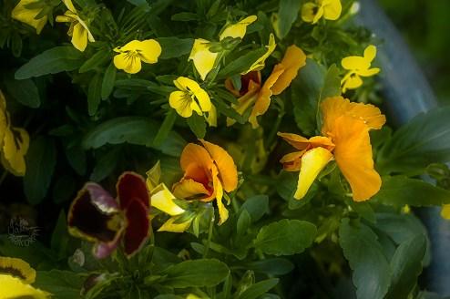 yellow_pansies2330p