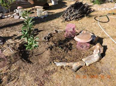 Dorsett Apple tree and three Watermelon seedlings